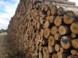 Hardwood  Logs - Poplar Saw Logs For Sale, diameter 7+ cm