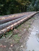 Fir/Spruce Softwood Logs - Fir/Spruce 28+ cm gater Saw Logs in Romania