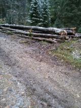 Beech  Hardwood Logs for sale. Wholesale exporters - 28+ cm Beech (Europe) Saw Logs in Romania