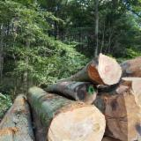 Hardwood  Logs For Sale - European Beech logs, Peeling AB grade