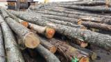 Hardwood  Logs - 25-36 cm Chestnut (Europe) Construction Round Beams in Italy