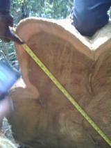 Offers Belgium - 25 + cm Teak Saw Logs Belgium