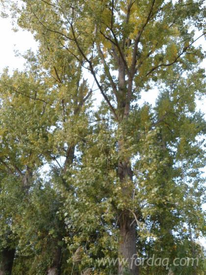 Poplar-Standing-Timber-Poitou-Charentes