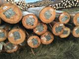 Tropical Logs importers and buyers - Importing Eucalyptus Logs, type Saligna or Grandis
