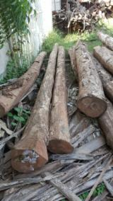 Tropical Wood  Logs For Sale - 1 45; 100 cm Teak Saw Logs from Nicaragua