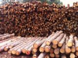 North America Softwood Logs - AA Yellow Pine Logs, 8 inch diameter