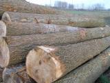 European poplar logs peeling poplar logs