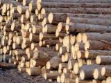 Softwood  Logs - Spruce Logs