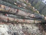 Hardwood  Logs For Sale - Saw Logs, Oak (European)