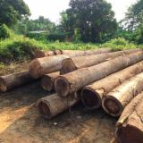 Tropical Wood  Logs - First quality iroko logs