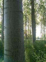 Hardwood Logs importers and buyers - 40+ cm Poplar Peeling Logs