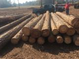 null - Softwood Logs - Yellow Pine Logs.