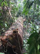 Hardwood  Logs - 70+ cm Tali  Saw Logs Belgium