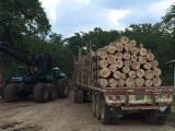 Tropical Wood  Logs For Sale - Gmelina Arborea, Melina