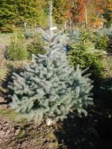 Romania Softwood Logs - Noble fir 3+ cm Cristmas tree from Romania