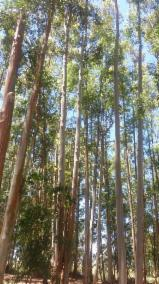 null - Eucalyptus Hardwood for sawing or paper pulp