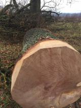 Serbia - Fordaq Online market - Oak Veneer Logs, diameter 50+ cm