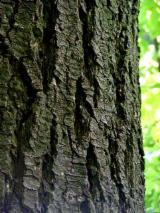 Orman ve Tomruklar - Kerestelik Tomruklar, Douglas Köknar