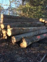 Bossen En Stammen Noord-Amerika - Zaagstammen, Hickoryhout