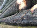 50 + cm Oak  Saw Logs France