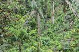 Bois Sur Pied à vendre - Vend Cèdre  Pacifica Colombie