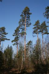 Germany Softwood Logs - Pine  - Scots Pine 140-220 mm Klasse I
