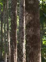 Wälder Und Rundholz Südamerika - Venezuela