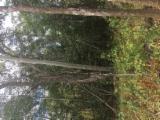Bosques En Venta - Camboya, Pino Silvestre  - Madera Roja