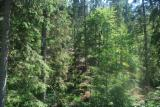 Waldgebiete Fichte Picea Abies  - Rumänien Transsilvanien 1400 ha Nadelwald