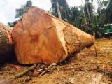 Tropical Logs Suppliers and Buyers - African logs