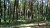 Лес На Корню - Германия, Сосна Обыкновенная