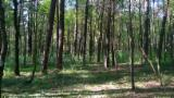 Dikili Ağaç Satılık - Almanya, Çam  - Redwood