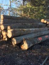 Forest And Logs North America - North American Hardwood Logs (Saw / Veneer) - Walnut/White Oak/Red Oak/Hickory/Poplar