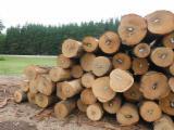 Furnierholz, Messerfurnierstämme, Roteiche