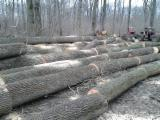 Hardwood Saw Logs For Sale - White Ash Logs from Bulgaria, 30+ cm
