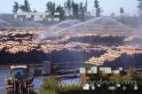 Drewno Iglaste  Kłody Na Sprzedaż - Kłody Tartaczne, Sosna Radiata , FSC