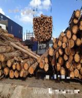 China Hardwood Logs - Brazilian Eucalyptus Grandis Logs, diameter 11-28; 30 cm