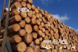 null - Elliotiskiefer 11-40 cm 修枝无节,A级锯材原木(Pure log, A grade saw log) Schnittholzstämme China zu Verkaufen