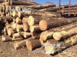 Radiata Pine  Softwood Logs - Radiata Pine Logs, diameter 11-40 cm