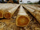 Cameroon Hardwood Logs - Teak Saw Logs, AB, diameter 70; 80; 90+ cm