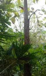 Bois sur Pied à vendre - Vend Panama Panama