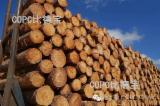 Softwood  Logs - Elliotis Pine  11~40 mm A级锯材原木 A grade  Saw Logs