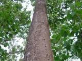 Wälder Und Rundholz Nordamerika - Schälfurnierstämme