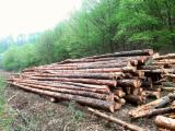 Schnittholzstämme, Kiefer  - Rotholz