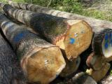 Germany Hardwood Logs - Oak/Turkish Oak Saw Logs, diameter 38-80 cm