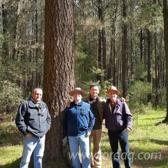 Radiata-Pine--Woodland-from-Chile-78-