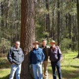 Лісисті Місцевості - Чілі, Сосна Rаdiаtа