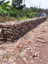 Wälder Und Rundholz Asien - Brennholz, Eukalyptus,