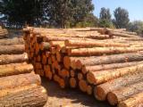 Softwood  Logs - Radiate Pine Logs 30+ cm