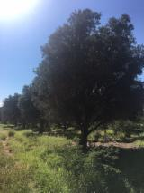 Standing Timber - 400 hectares of Standing Olive Tree - Wood